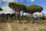 Thumbnail Canary Islands Dragon Tree Dracaena draco on Socotra island, UNESCO World Heritage Site,  Yemen
