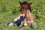 Thumbnail Young foal, Icelandic Horse, Icelandic Pony (Equus przewalskii f. caballus)