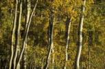 Thumbnail fall coloured aspen trees in the Wasatch Range, Utah, USA
