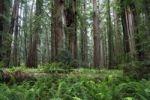 Thumbnail Jedediah Redwoods, Coast Redwood or Giant Redwood (Sequoia sempervirens), California Coast, California, USA