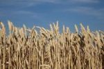 Thumbnail Wheat field (Triticum)
