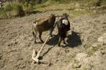 Thumbnail Oxen standing on a dry field yoked to a handmade carved wooden plough, Annapurna Conservation Area, Nepal, Asia