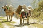 Thumbnail Donkey train transporting goods to remote areas in the Annapurna Conservation Area, Nepal, Asia