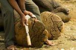 Thumbnail Mahout cutting an elephant's toenails with a curved knife, Chitwan National Park, Nepal, Asia