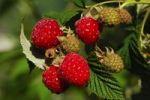 Thumbnail Ripe raspberries