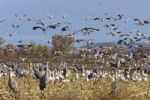 Thumbnail Snow Geese (Anser caerulescens atlanticus, Chen caerulescens) and Sandhill Cranes (Grus canadensis) wintering in the Bosque del Apache Wildlife Refuge, New Mexico, USA