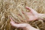 Thumbnail Hands holding ripe ears of wheat