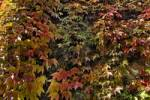 Thumbnail five-leaved ivy Parthenocissus quinquefolia