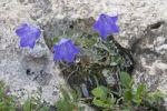 Thumbnail Scheuchzer's Bellflower (Campanula scheuchzeri)