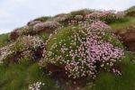 Thumbnail Marsh Daisy (Armeria maritima), County Clare, Ireland, Europe