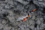 Thumbnail Lava, Pacaya volcano, stream of lava, Guatemala, Central America