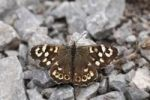 Thumbnail Speckled wood (Pararge aegeria), Burren, Ireland, Europe