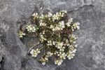 Thumbnail Common Scurvygrass (Cochlearia officinalis), Burren, Ireland, Europe