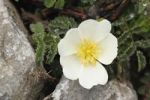 Thumbnail Flower of Burnet Rose (Rosa pimpinellifolia), Burren, County Clare, Ireland, Europe