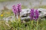 Thumbnail Early Purple Orchid (Orchis mascula), Burren, County Clare, Ireland, Europe