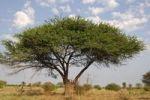 Thumbnail Umbrella Thorn Acacia (Acacia tortilis), Okavango Delta, Botswana, Africa