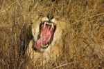 Thumbnail Yawning Lioness (Panthera leo) showing its teeth, Madikwe Game Reserve, South Africa