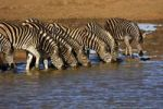 Thumbnail Herd of Plains Zebra (Equus burchelli) at a water hole, Madikwe Game Reserve, South Africa