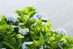 Thumbnail Hydrangea (Hydrangea macrophylla) in front of mountains