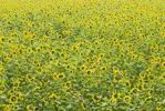Thumbnail Sunflower field (Helianthus annuus)
