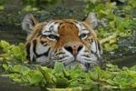 Thumbnail Siberian tiger (Panthera tigris altaica), swimming, in the zoo of Antwerp, Belgium, Europe