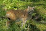 Thumbnail Eurasian lynx (Lynx lynx)
