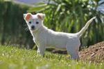 Thumbnail Labrador crossbreed pup
