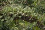 Thumbnail Tree fern