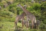 Thumbnail Two giraffes (Giraffa carmeopardalis), swinging their necks against each other, Tanzania, Africa