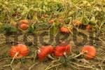 Thumbnail pumkin cucurbita in field
