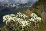 Thumbnail Edelweiss (Leontopodium alpinum Cass.)