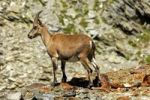Thumbnail Young Alpine ibex (Capra ibex) in the scree, Savoy Alps, France, Europe
