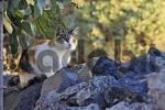 Thumbnail Katze, Firostefani, Santorini, Greek