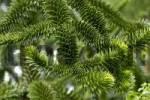 Thumbnail Twigs of an Araucaria Araucaria araucana