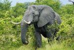 Thumbnail African Bush Elephant (Loxodonta africana) during feeding, near the Khwai River, Okavango Delta, Botswana, Africa