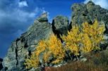 Thumbnail Aspen trees (Populus tremula) in Denali National Park, Alaska, USA
