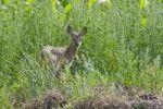 Thumbnail Roe Deer (Capreolus capreolus) fawn