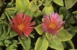 Thumbnail Heartleaf iceplant, baby sun rose (Aptenia cordifolia), Cyprus island, Greece, Europe