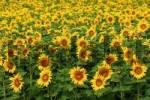 Thumbnail Field of sun flowers, Helianthus annus