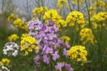 Thumbnail Dames Rocket, Damask Violet or Night Scented Gilliflower (Hesperis matronalis) and Rapeseed (Brassica napus), Republic of Ireland, Europe
