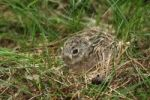 Thumbnail Hare (Lepus europaeus), young, one week old, Allgaeu, Bavaria, Germany, Europe