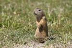 Thumbnail European ground squirrel or souslik (Spermophilus citellus) standing on its hind legs and watching its surroundings
