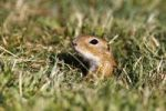 Thumbnail European ground squirrel or souslik (Spermophilus citellus) looking out of its cave