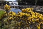 Thumbnail Common gorse (Ulex europaeus), Aasleagh Falls, Connemara, County Mayo, Republic of Ireland, Europe