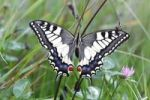 Thumbnail Swallowtail (Papilio machaon), sitting in a meadow