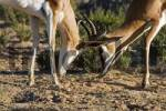 Thumbnail fighting springboks, Kgalagadi Transfrontier Park, Kalahari Gemsbok Park, Botswana and South Africa.