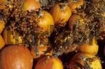 Thumbnail ripe gourds as a fall decoration, North Carolina, USA