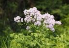 Thumbnail Meadow rue (Thalictrum aquilegiifolium), Bavaria, Germany, Europe