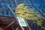 Thumbnail Yellowfin Goatfish (Mulloidichthys vanicolensis), Marsa Alam, Egypt, Africa