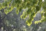 Thumbnail Katsura tree (Cercidiphyllum) during a summer rain